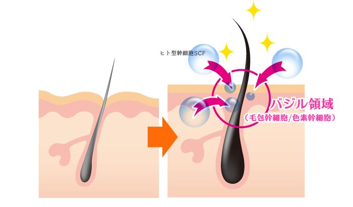 ヒト型幹細胞が毛包幹細胞に作用