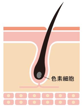 黒髪に大切な色素細胞